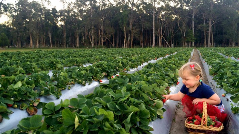 Pick your own berries at Strawberry Fields from June to the end of October.